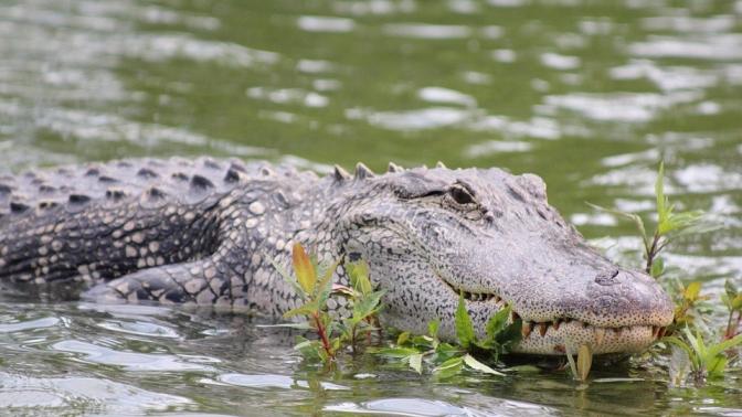 alligator-452649_960_720