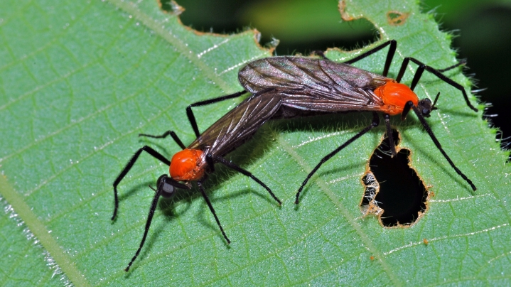 love_bugs_plecia_sp-_bibionidae_6782832257.jpg