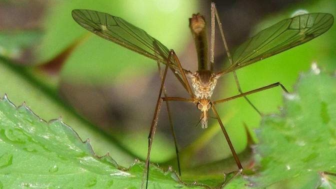 mosquito-1384020_960_720
