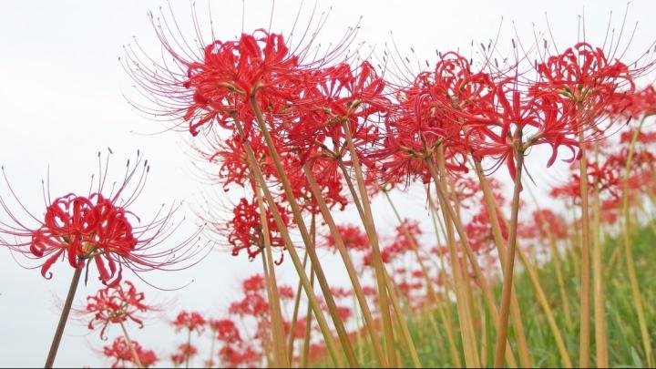 spider-lillies.jpg