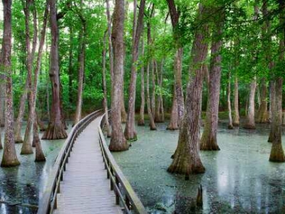 boardwalk leading through cypress swamp on the Natchez Trace Parkway
