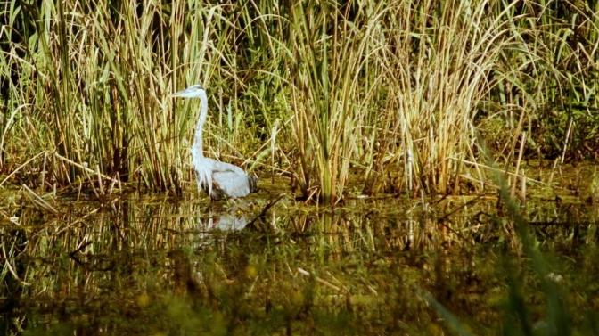 percy quin state park mccomb mississippi white egret