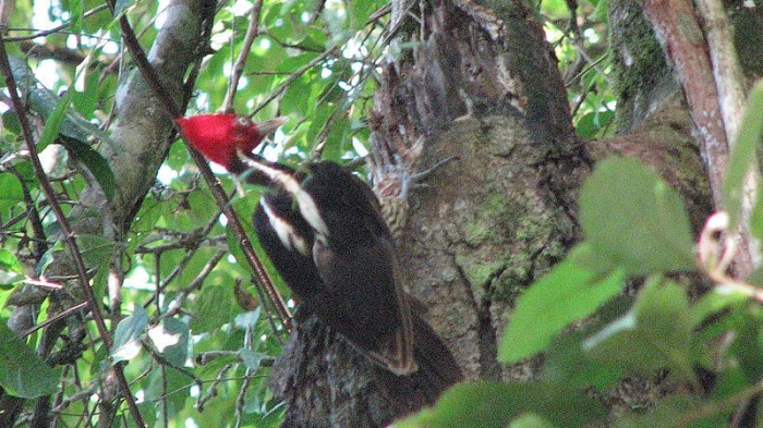pale billed woodpecker in costa rica perched in a tree