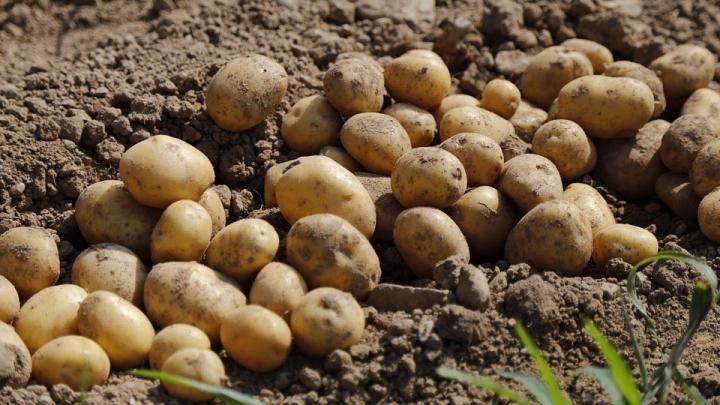 potato-983788_960_720