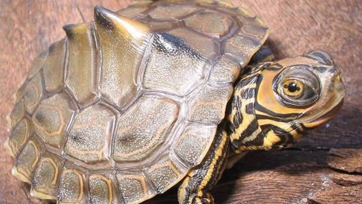 ringed sawback turtle