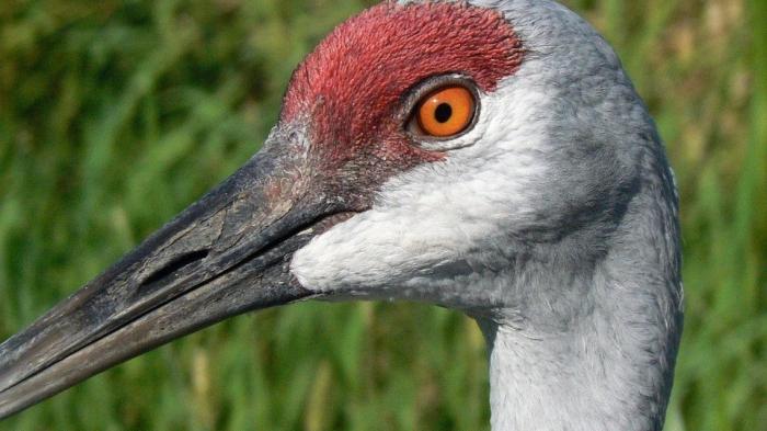 sandhill-crane-913785_960_720