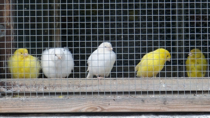 canaries-420580_960_720