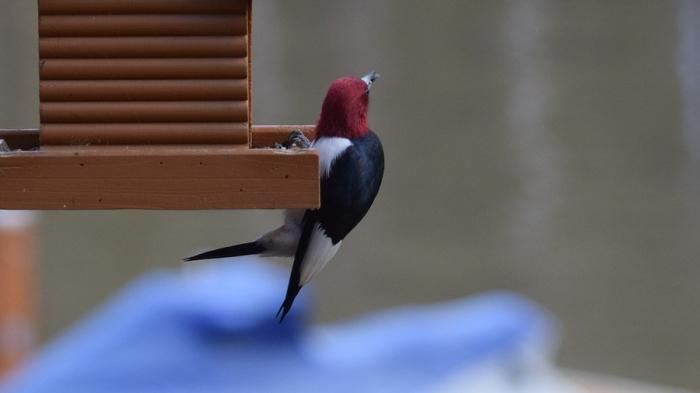 redheaded-woodpecker-2149719_960_720