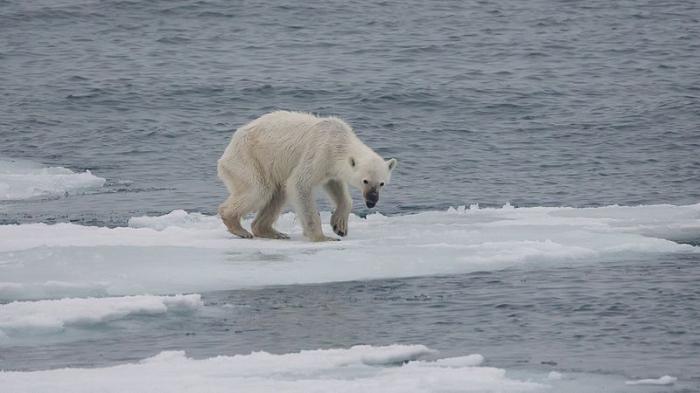 Endangered_arctic_-_starving_polar_bear