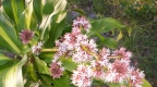 A Chagga holy plant