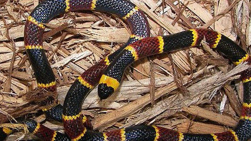 800px-EASTERN_CORAL_SNAKE