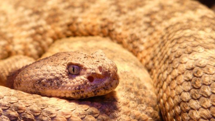 spotted-rattlesnake-54003_960_720