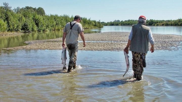 alaska_salmon_fish_fishing_wildlife_river_nature_wild-765350