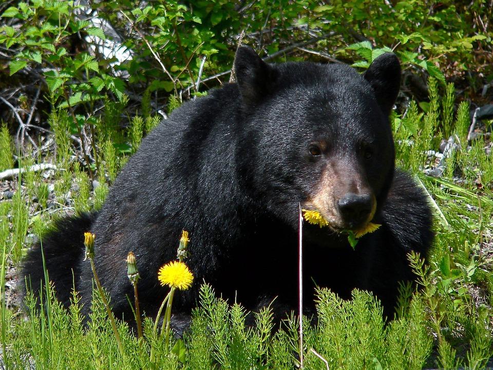 black-bear-750091_960_720
