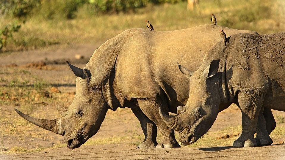 rhinoceros-2808194_960_720.jpg